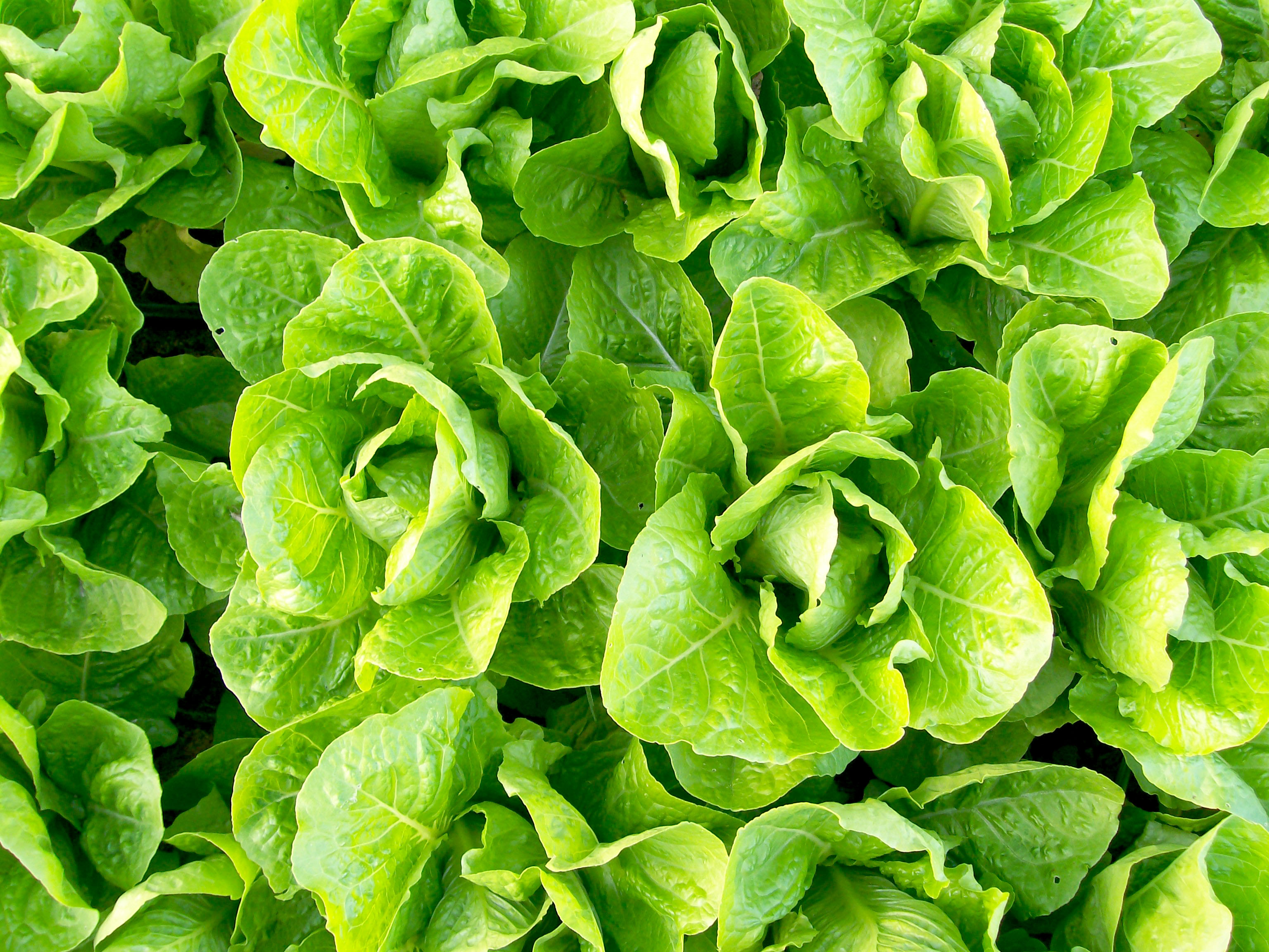 Pictures Of Garden Jericho Romaine Lettuce 0 5 G Southern Exposure Seed