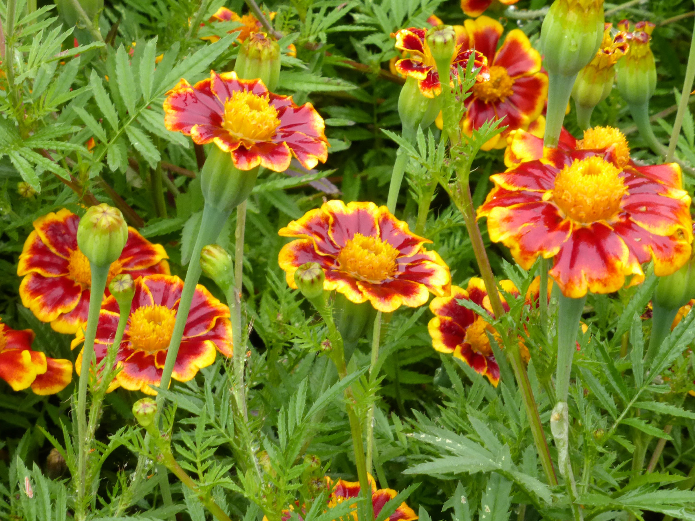 French marigold francess choice 05 g southern exposure seed click to enlarge mightylinksfo