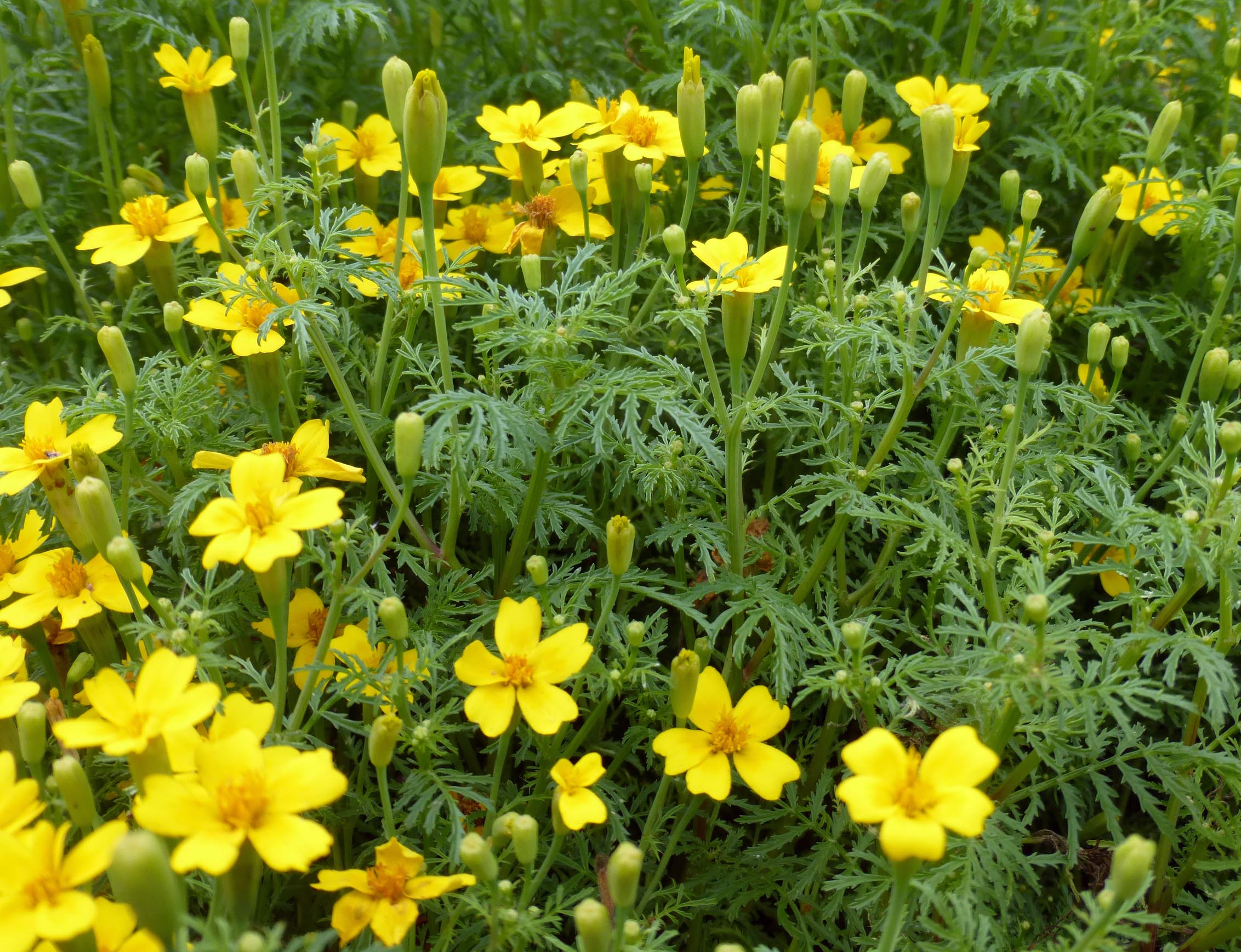 Signet Marigold, Lemon Gem, 0.5 g : Southern Exposure Seed ...
