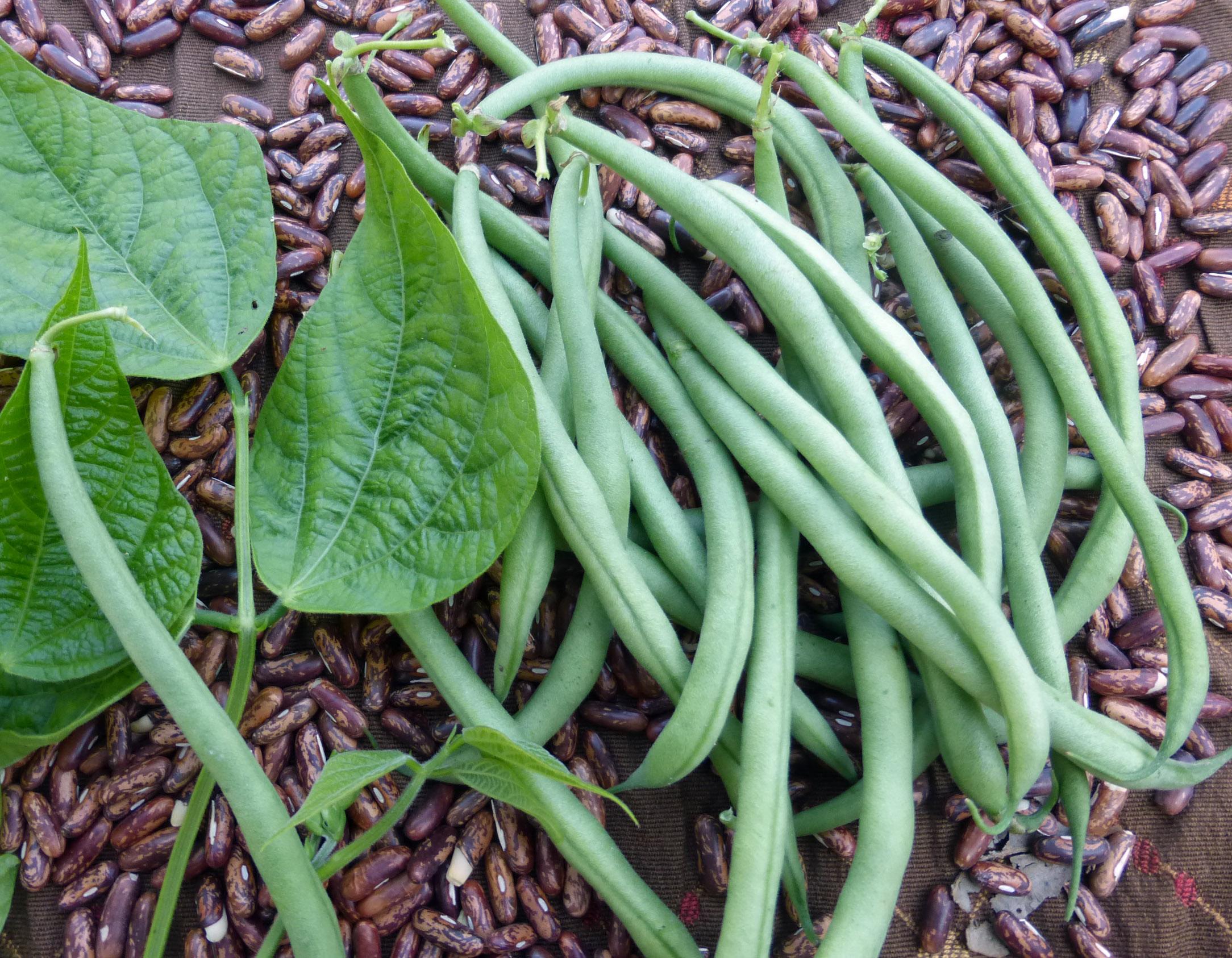 Maxibel Filet Bush Snap Bean 14 G Southern Exposure