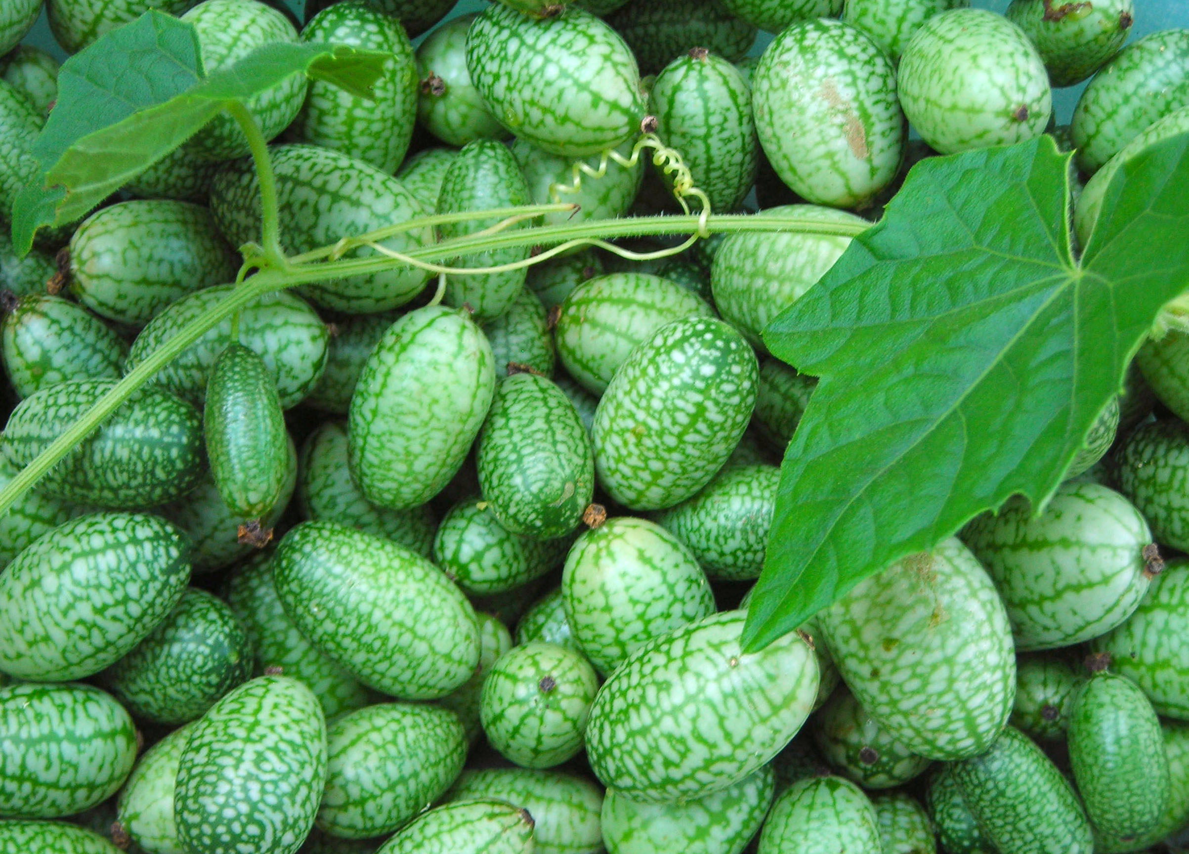 Mexican Sour Gherkin Mouse Melon Sandita 0 2 G