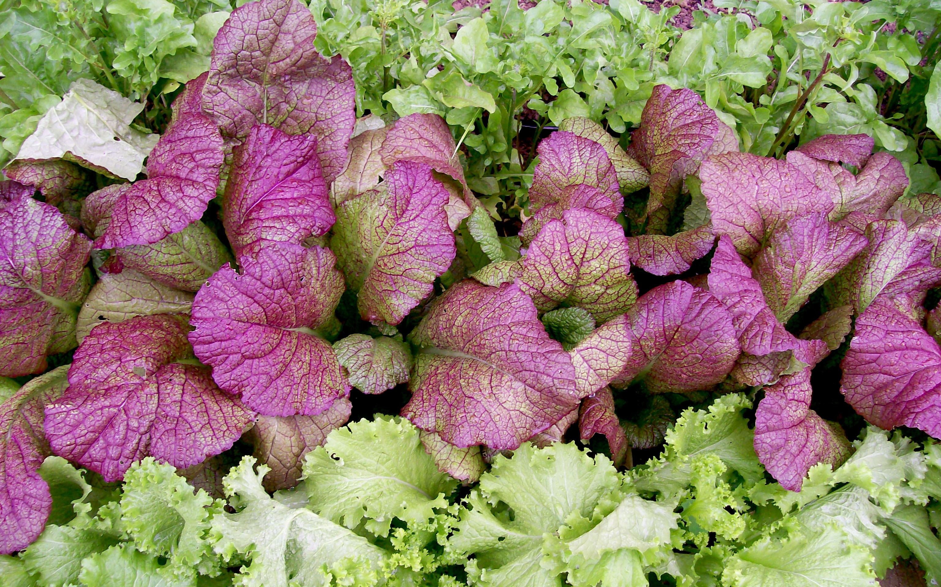 Image result for red mustard greens