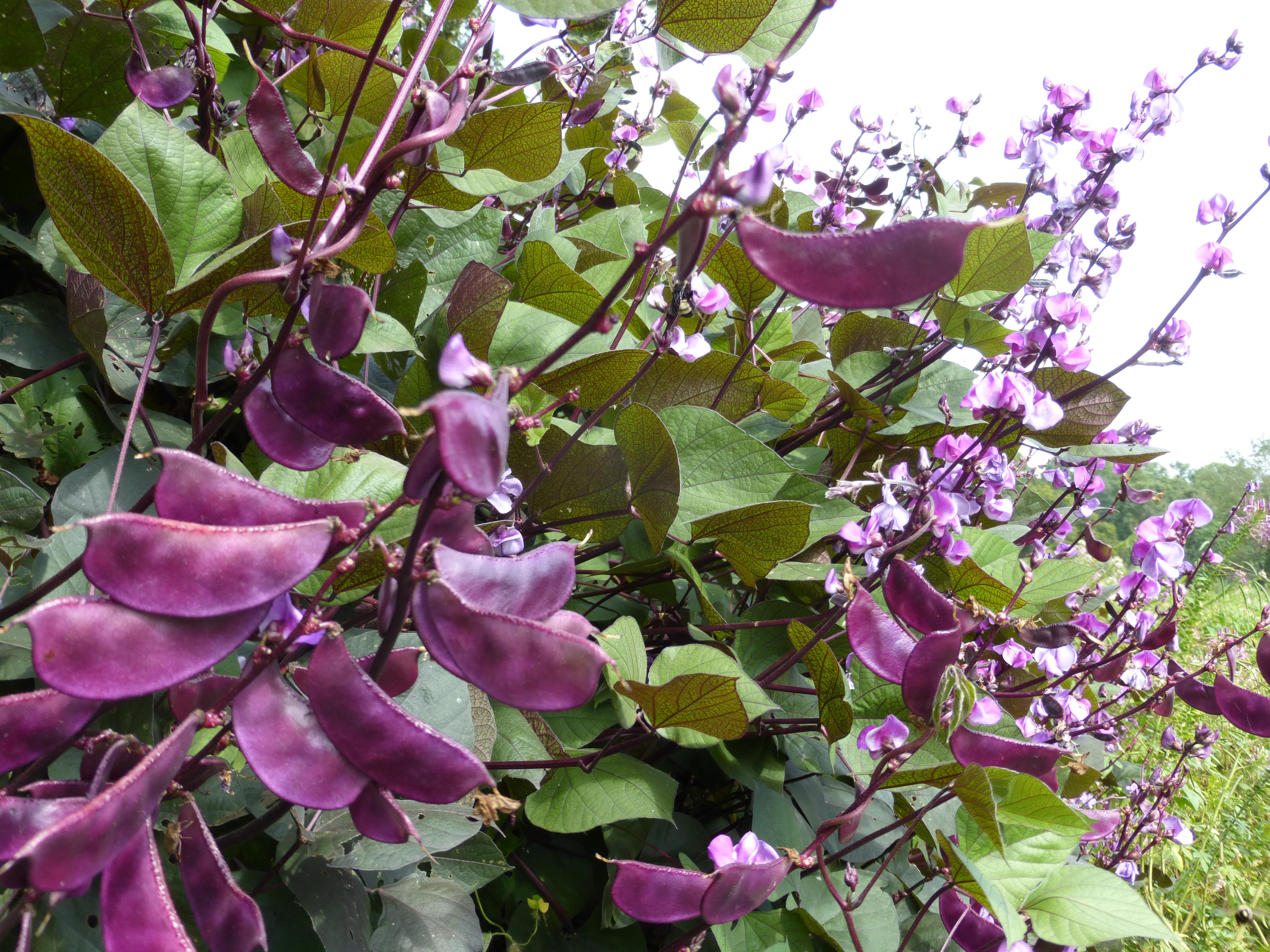 Purple Hyacinth Bean Ornamental 8 G Southern Exposure Seed