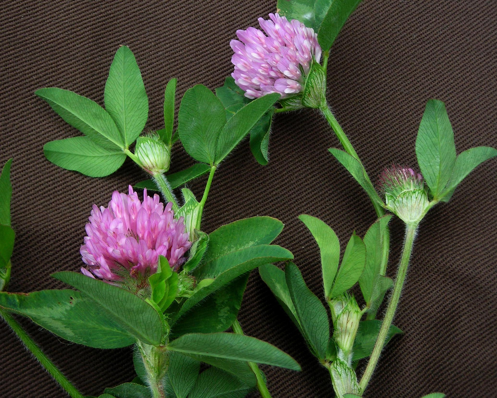 Clover Red Southern Exposure Seed Exchange