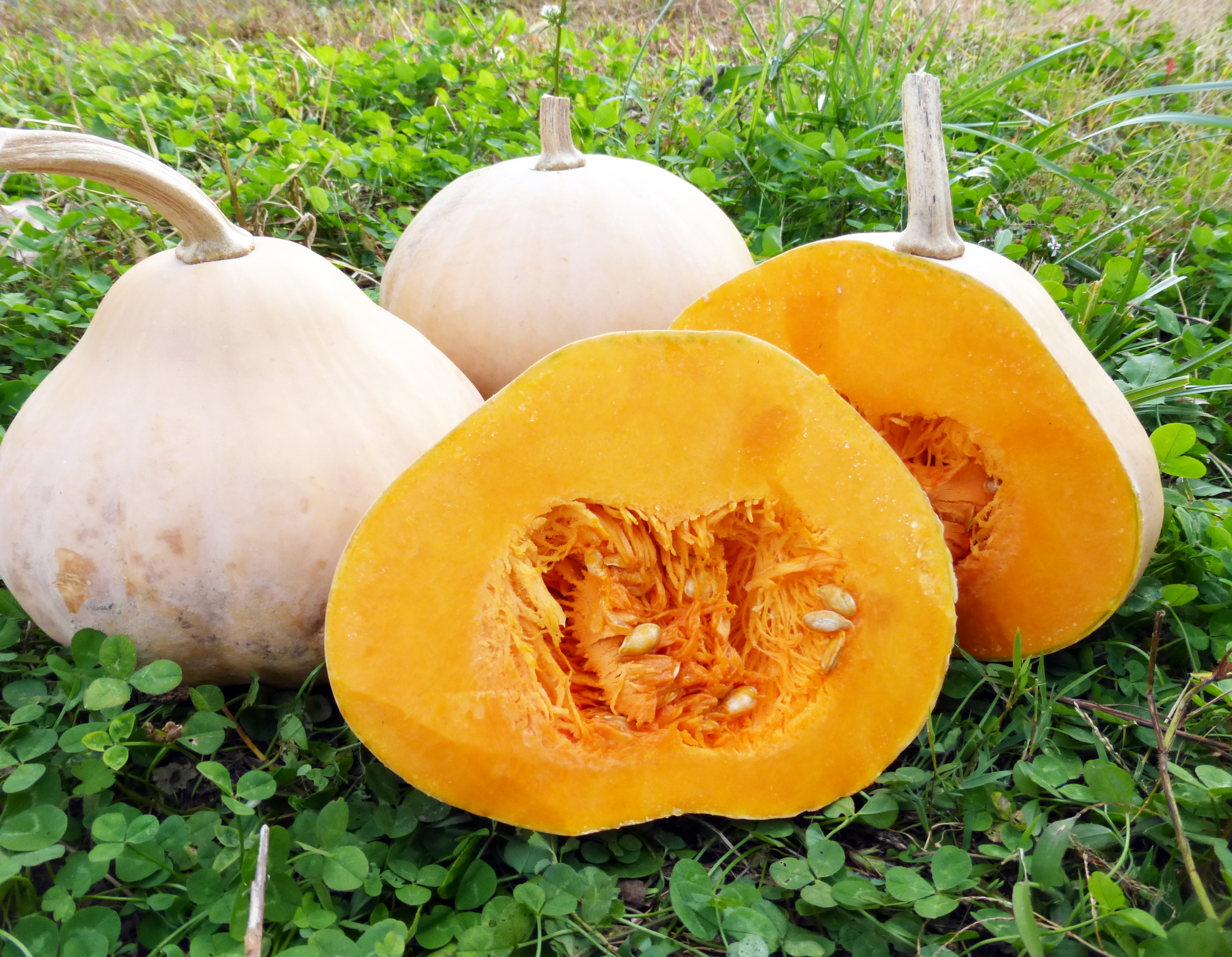 Mrs Amersons Winter Squash 3 G Southern Exposure Seed Exchange