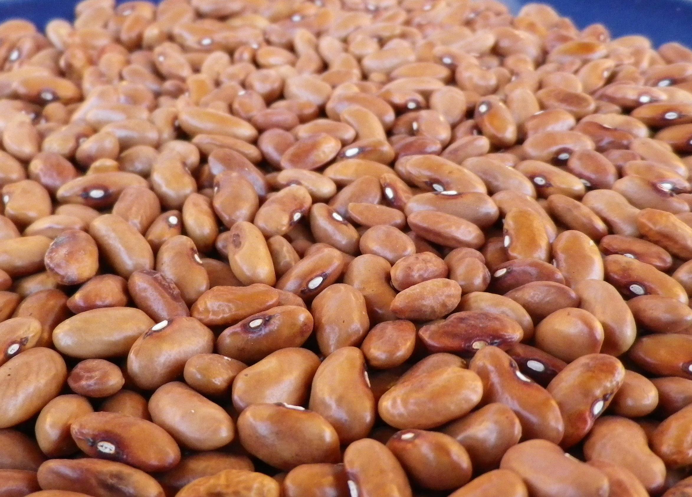 Sulphur Bush Dry Bean, 28 g : Southern Exposure Seed ...