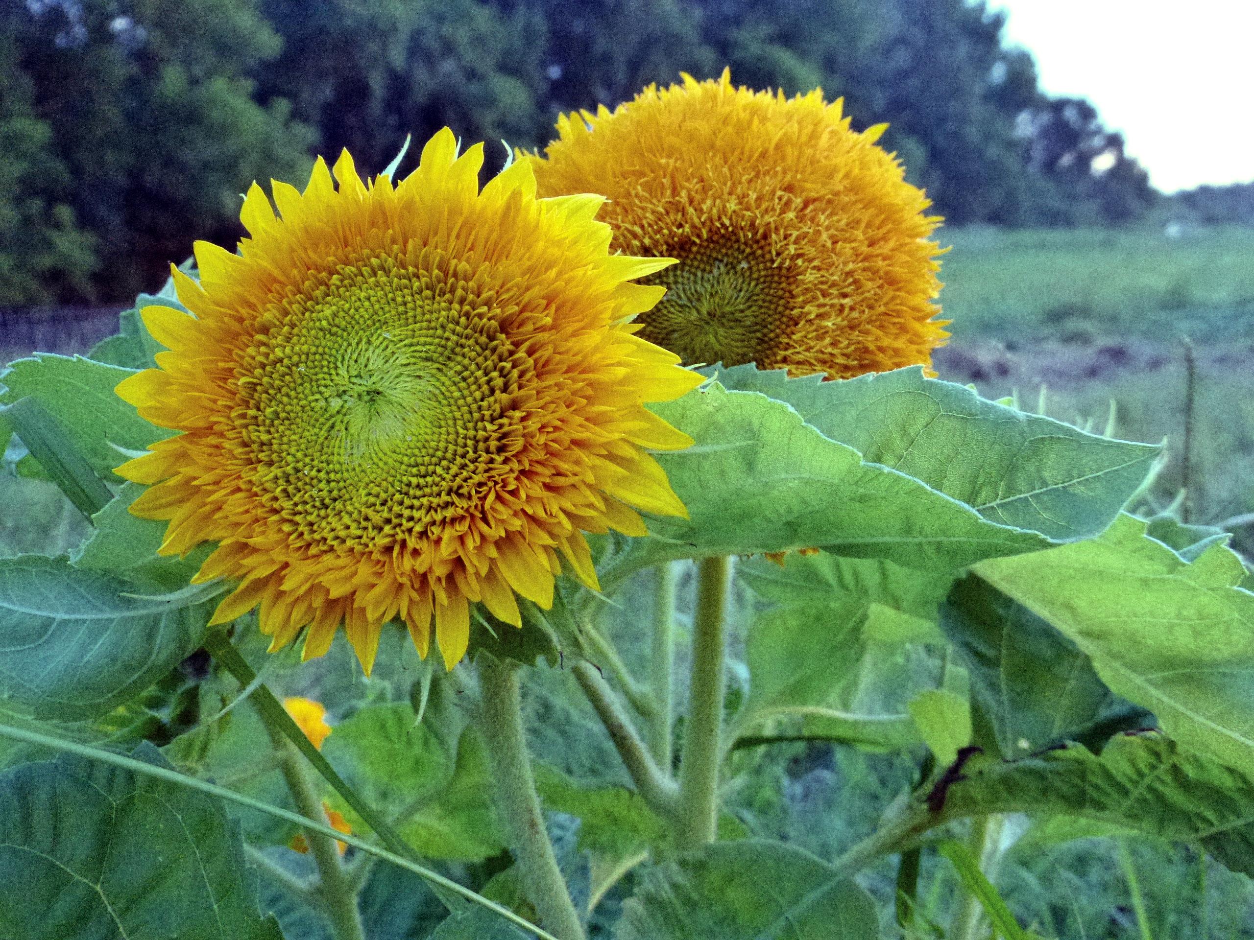 Teddy Bear Sunflower 4 G Southern Exposure Seed