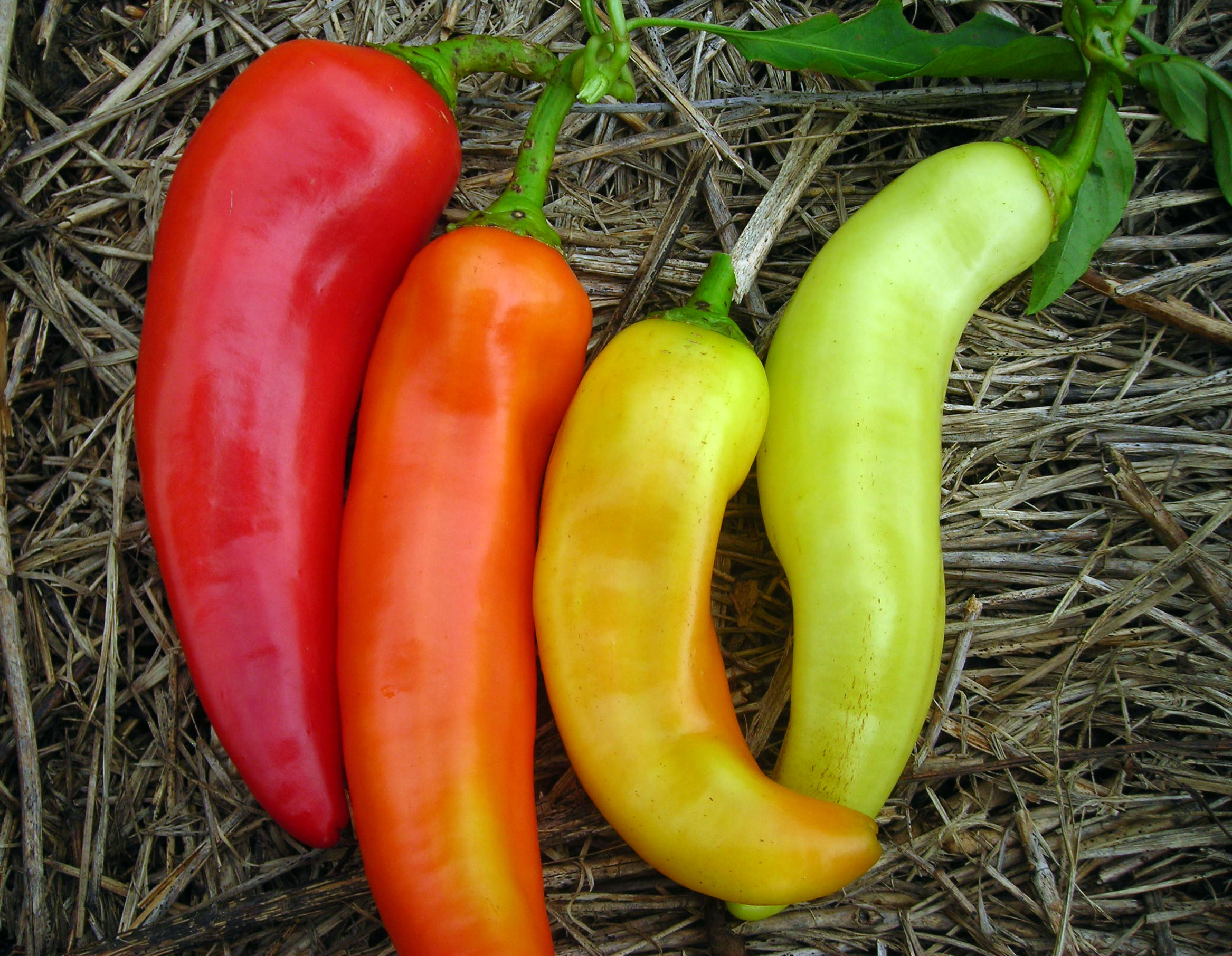 Sweet banana long sweet hungarian sweet pepper 0 3 g - How to can banana peppers from your garden ...