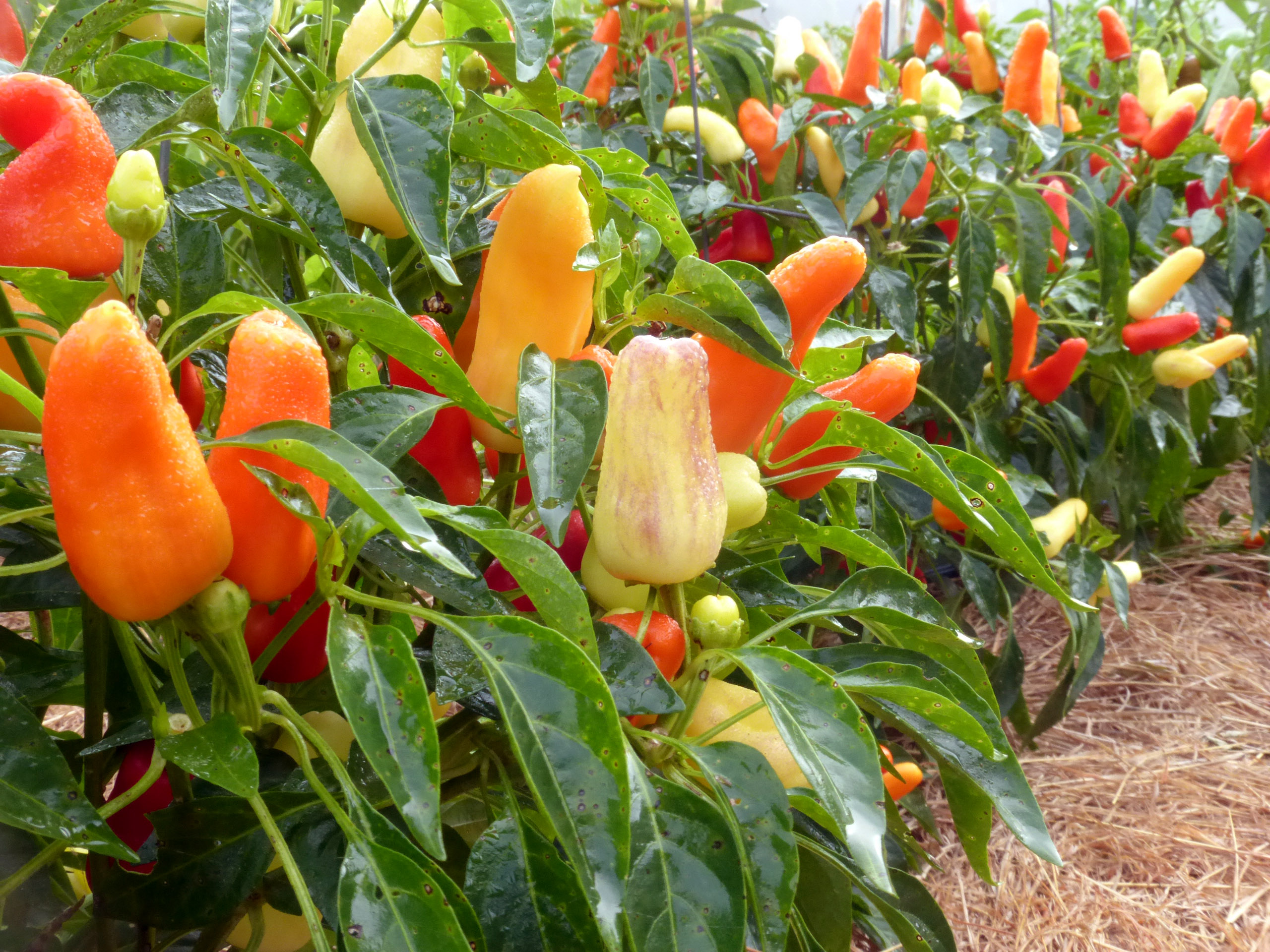 Sweet Pickle Christmas Tree Pepper 0 3 G Southern Exposure Seed