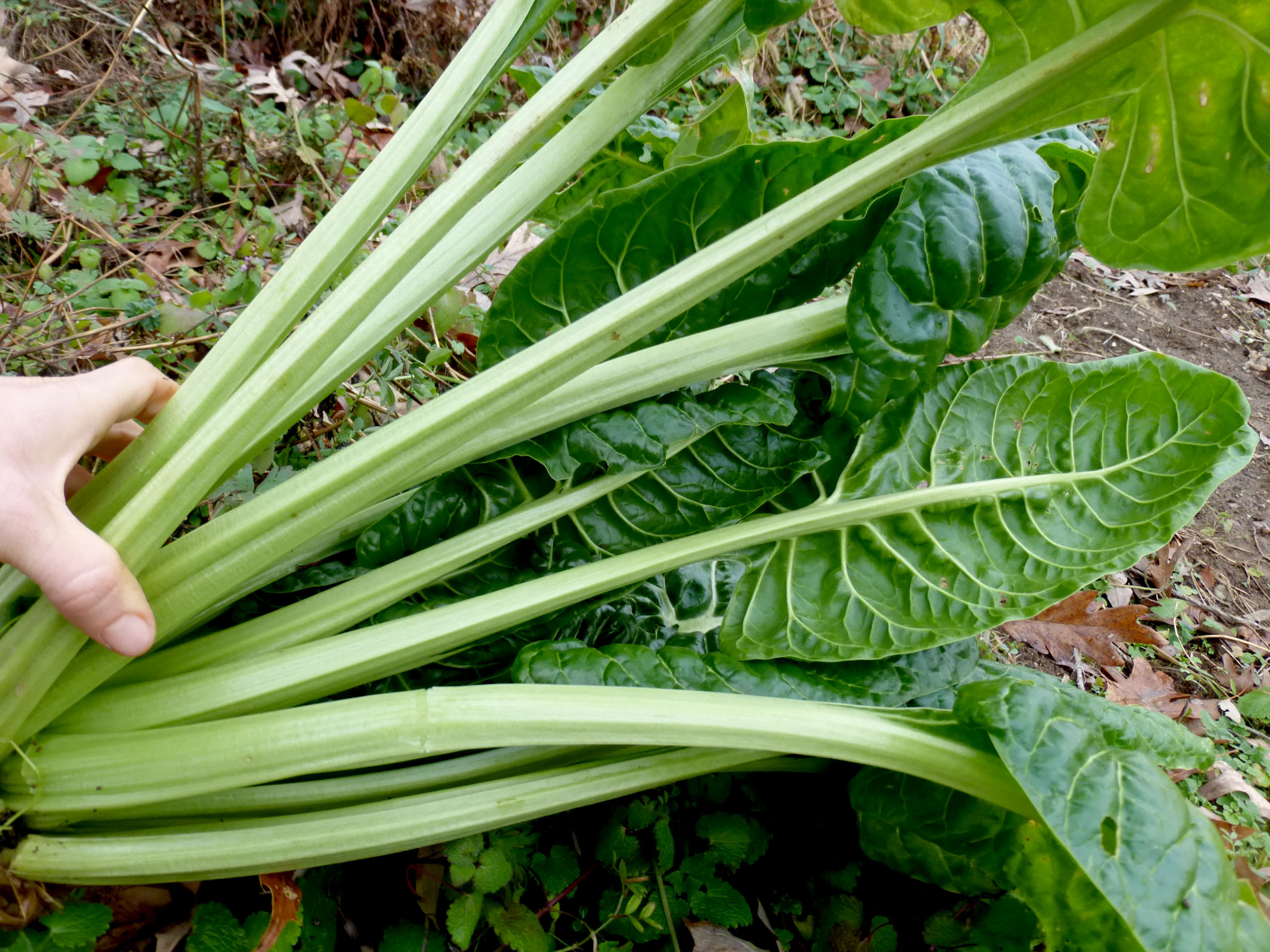 perpetual spinach leaf beet chard 4 g southern exposure seed