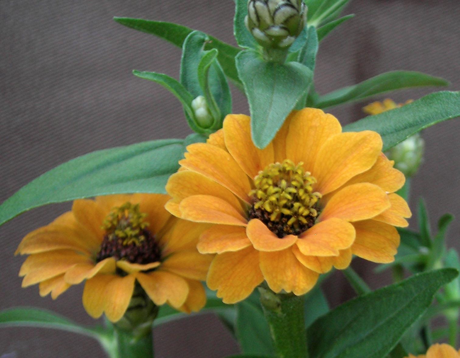 Zinnia Peruviana Yellow 05 G Southern Exposure Seed Exchange