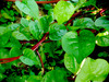 Red Malabar Summer Spinach, 1 g