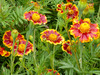 French Marigold, Frances's Choice, 0.5 g