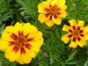 French Marigold, Naughty Marietta, 0.5 g