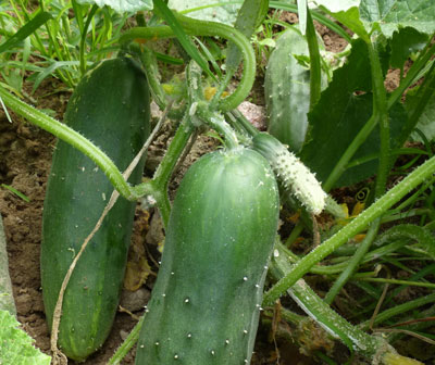 Marketmore 80 Cucumber 2 g