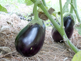 Black Beauty Eggplant, 0.25 g