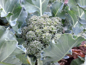 Green Goliath Broccoli, bulk size: 28 g