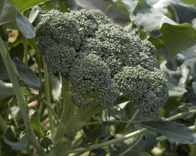 Umpqua Broccoli, 2 g