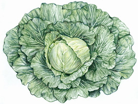 Golden Acre Cabbage, 2 g