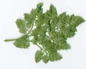 Chervil, Brussels Winter, 1 g