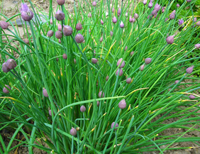 Chives 0.2 g