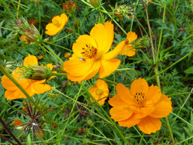 Cosmos, Bright Lights Orange, 1 g