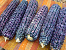 Blue Clarage (Ohio Blue Clarage) Dent Corn, bulk size: 1 lb