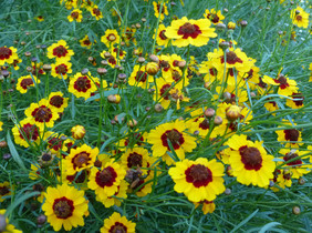 Coreopsis, Dyer\'s Coreopsis Mix, 0.25 g