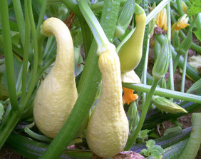 Early Golden Summer Crookneck Summer Squash, 3 g