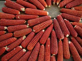 Floriani Flint corn