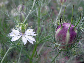 Love-in-a-Mist Mixed Colors Nigella, bulk size: 7 g