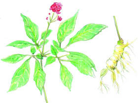 Ginseng (2 years old), bulk size: 8 roots