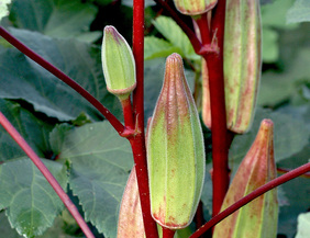 Hill Country Heirloom Red Okra, bulk size: 28 g