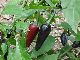 Czech Black Hot Pepper, 0.3 g