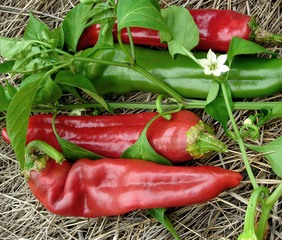 Numex Big Jim Hot Pepper, bulk size: 3 g