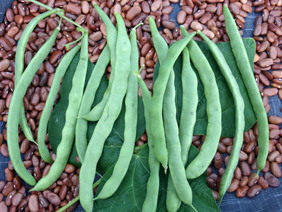 Kentucky Wonder (Old Homestead) Pole Snap Bean, bulk size: 1 lb