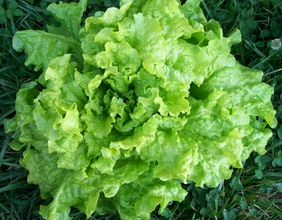 Black-Seeded Simpson Looseleaf Lettuce, bulk size: 7 g