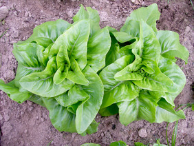 Deer Tongue (Matchless) Looseleaf Lettuce, 0.5 g