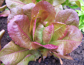 Rouge d\'Hiver (Red Winter) Romaine Lettuce, bulk size: 7 g