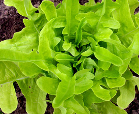 Thai Oakleaf Looseleaf Lettuce, 0.5 g
