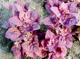 Magenta Magic Orach, 0.5 g