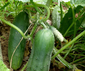 Marketmore 80 Cucumber, 2 g