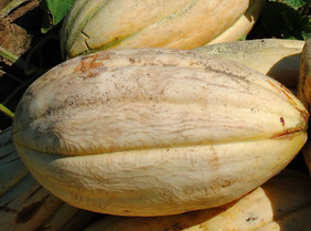 Old Time Tennessee Muskmelon, 2 g