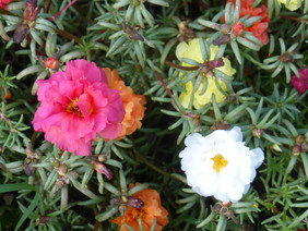 Portulaca, Old Fashioned Moss Rose, 0.05 g
