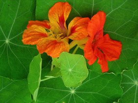 Nasturtium, Jewel Mixed Colors 28 g