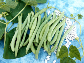 NT (Non-Tough) Half Runner Pole Snap Bean, bulk size: 1/4 lb