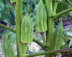 Star of David (Old Fashioned) Okra, bulk size: 1/4 lb