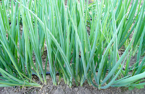 White Spear Bunching Onion, 1 g