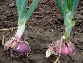 Red Wethersfield Dry Bulb Onion, 3 g