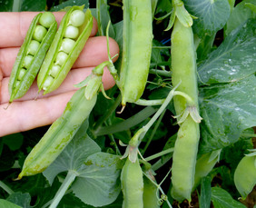 Wando Dwarf Shelling (English) Pea, 28 g